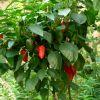 Chilis und andere Gärtnereien